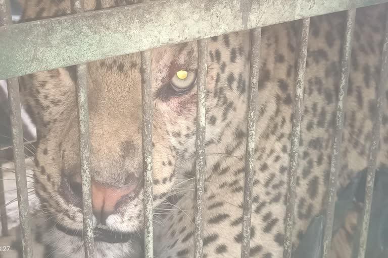 राहतः मासूम को निवाला बनाने वाला गुलदार पिंजरे मेें कैद