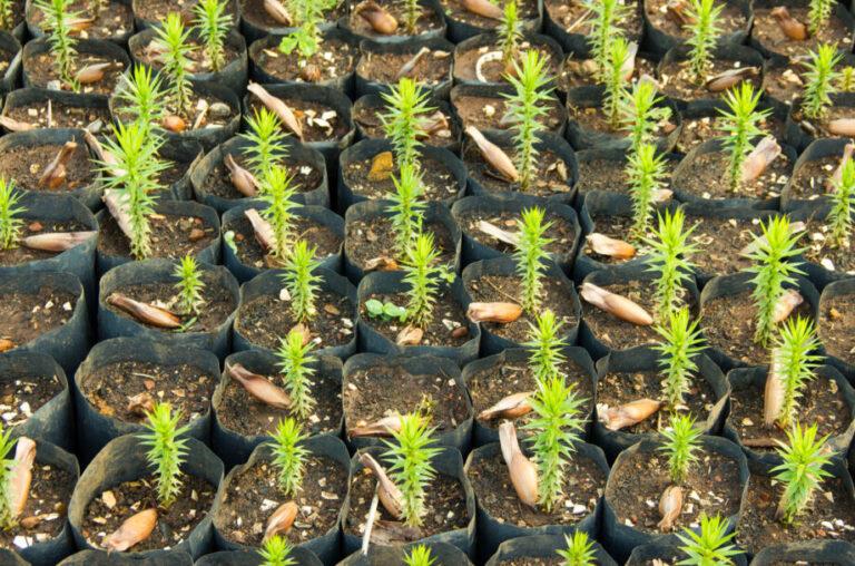 कोरोना कर्फ्यू में नष्ट होने की कगार पर नर्सरी की तैयार पौध
